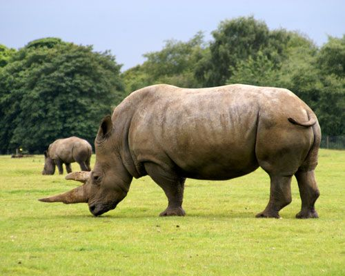 Rhinos — It might not come as a surprise that rhinos — because of their sheer size — are next on the list with a gestation period of about 450 days. This long gestation period is also an obstacle to replenishing the population. All five species of rhinoceros are endangered or considered vulnerable, and three out of the five are considered critically endangered.