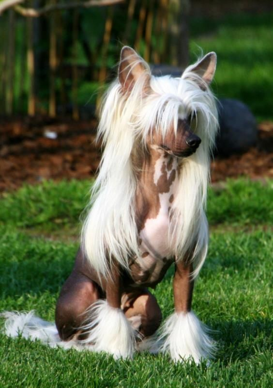 IF only they weren't soooo ugly when they get old :(   Chinese crested beauty