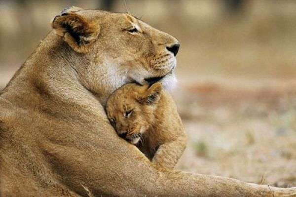 So sweetKing Of Beast, Big Cat, Animal Pictures, Mothers Day, Panthera Leo, Children, Baby Animal, Baby Lion, Lion Cubs