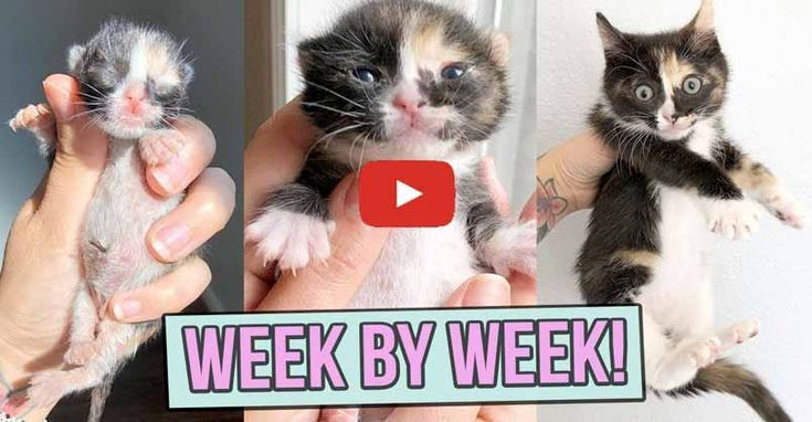 Learn How Baby Kittens Grow 0 8 Weeks Baby Kittens Kitten Care Kitten Care Newborn