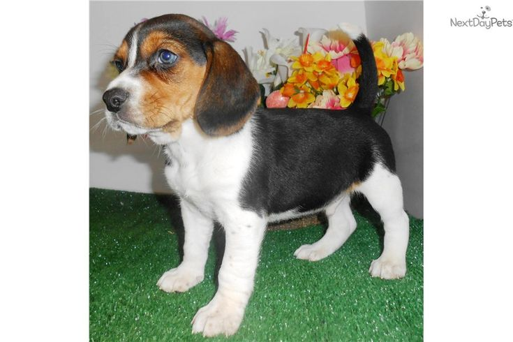 Beagle Puppy for Sale: Chicago Beagle Puppy. Great 4 KIDS! - eab81232-94b1