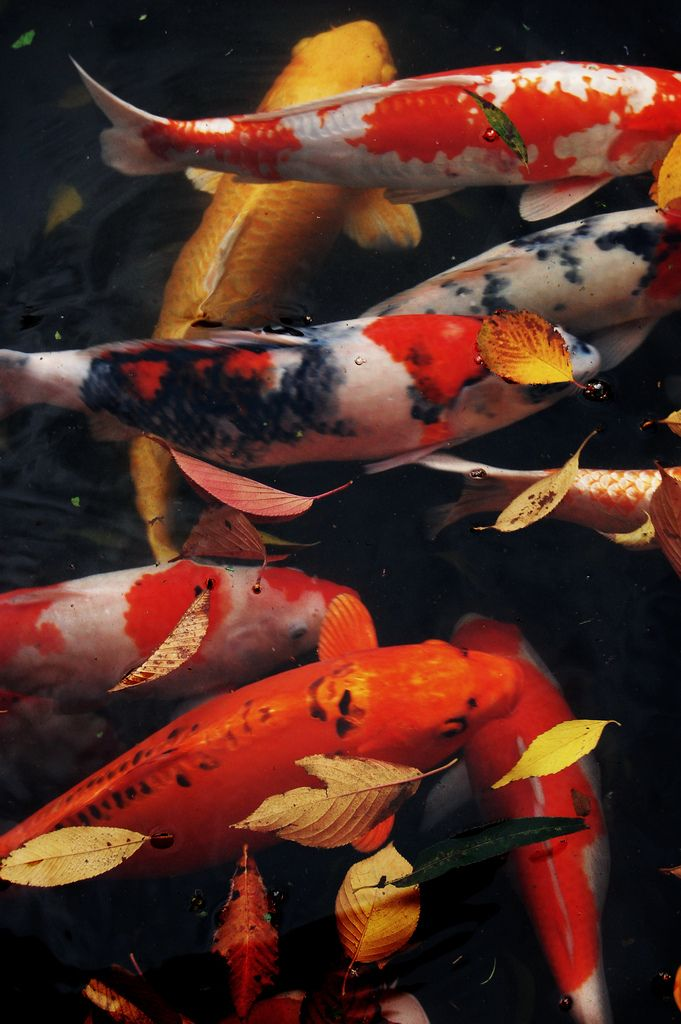 Swim whichever way your current pulls upstream isnt for Japanese koi pool