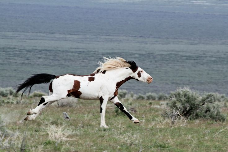 Mustang stallion Shaman. South Steens Wild Horses