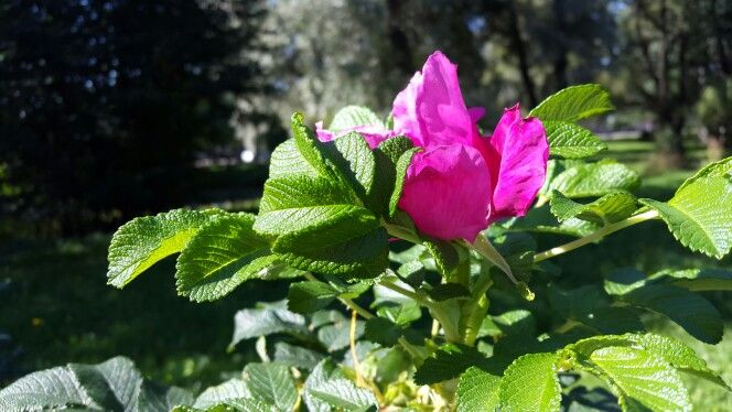 Шиповник в Ланском саду.
