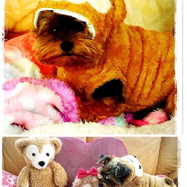 Amazonでダッフィーみたいな着ぐるみ買いました😊 前から欲しかったんだけどw 昨日、携帯でポチッて買っちゃったらさっき届いた😊💕 さっそく写真とったよー💟 カットに行ってないのでボサボサですが😆💕🐾 #yorkie #yorkielove  #yorkshireterrier  #yorkiegram #dog  #ヨークシャテリア #ヨーキー大好き #ヨーキー #よーきー部 #いぬ #愛犬 #pawsforjolie #親バカ部#犬バカ部 #かわいい#ダッフィー