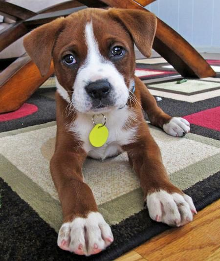 Boxer mix  cute