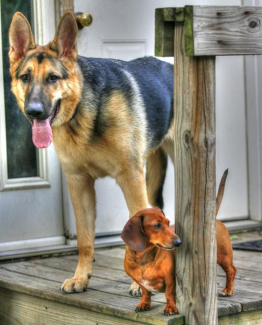 Big friend, little friend! German Shepherd and Doxie pals
