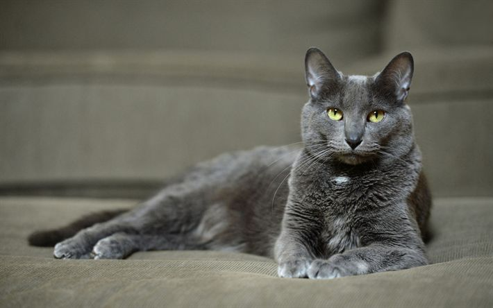 Download wallpapers Korat Cat, 4k, pets, cute animals, gray cat, cats, domestic cat, Korat