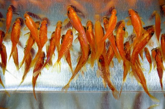 Golden Fish Riusuke Fukahori