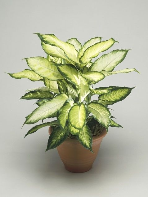Diffenbachia · meilleures plantes dintérieurplantes