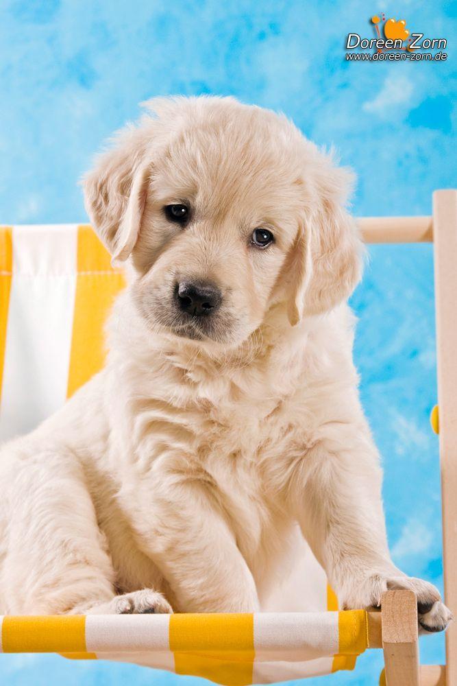 Golden Retriever Puppy by Kirikina.deviantart.com on @deviantART