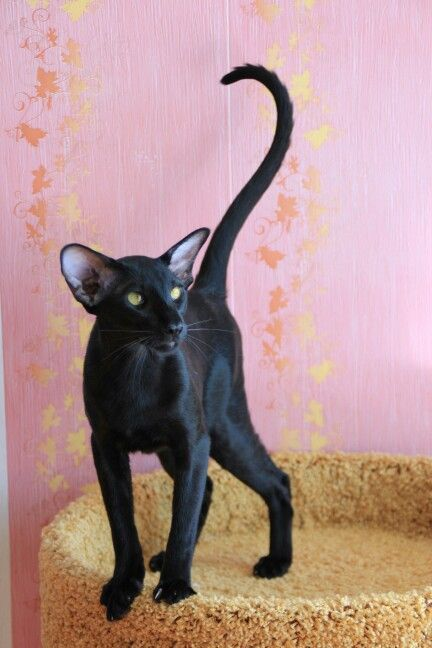 Amikoshi cat - my new fave. I love the triangular head, big ears, and Siamese slim body