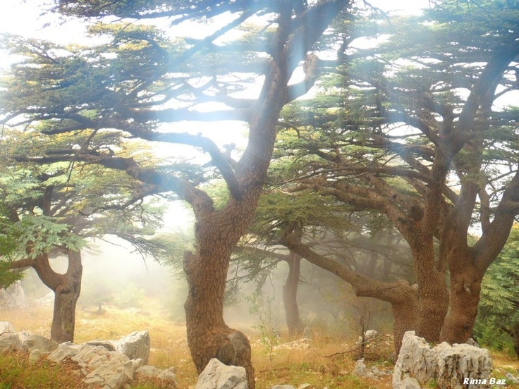 Cedars of Lebanon He shall grow like a cedar in Lebanon. Those who are planted in the house of the Lord shall flourish in the courts of our God. They shall still bear fruit in old age; They shall be fresh and flourishing to declare the name of of Our Lord.