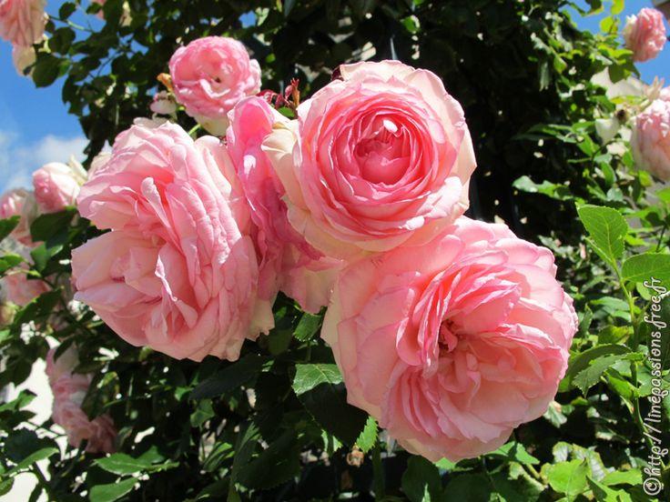 les 27 meilleures images du tableau roses anciennes sur pinterest roses roses roses et ancien. Black Bedroom Furniture Sets. Home Design Ideas