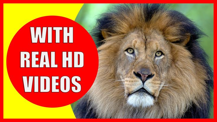 Lion Information for Kids: What do lions eat? Are lions endangered? Where do lions live? How long do lions live? Have you heard a lions roar? Do you know the weight of a lion? Let us learn about some interesting facts about lions.
