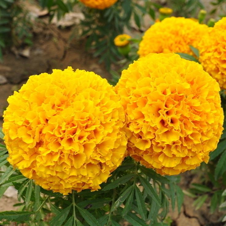 "500PCS  GOLD Yellow color ""CHARM"" NO.2 Marigold Seeds,  Tagetes erecta quality flower seeds Suitable for large area planting #Affiliate"