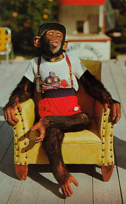 Chimp in a chair.