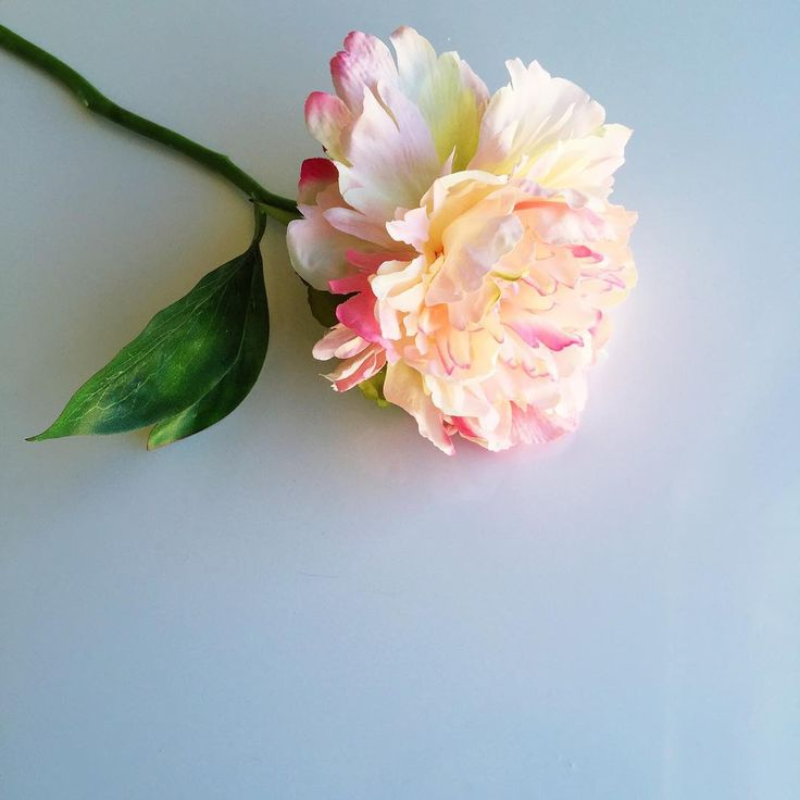 Peony  via @leysaflores   #peony#peonies#flower#flowers#floral#bloom#pretty#feminine#pink#white#minimal#minimalism#minimalist#beautiful#love#photography#weheartit#thatsdarling#foliage#VSCOcam#vsco#natural##