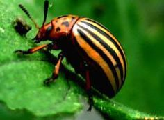 potato bug -- bad news for your garden -- here's how to get rid of them!