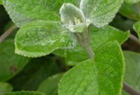 Jak pěstovat bylinu rýmovník