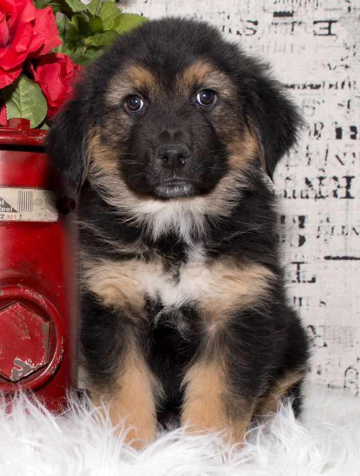 Euro Mountain Sheparnese dog for Adoption in Denver, CO. ADN-446193 on PuppyFinder.com Gender: Male. Age: Baby