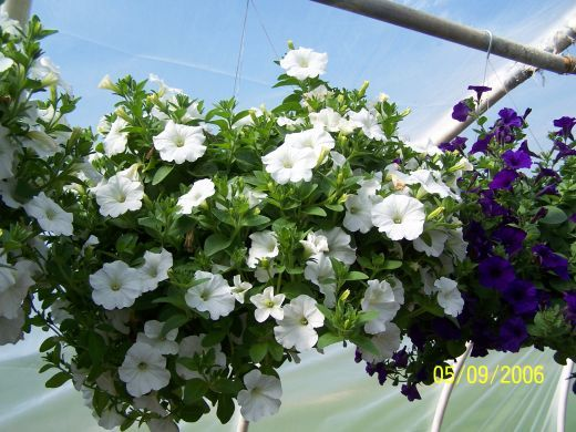 Wave Petunia Care and Growing Tips