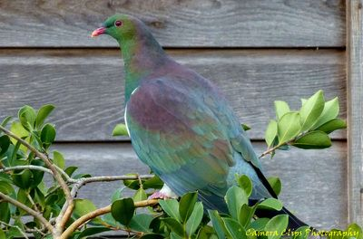 Wood Pigeon - CAMERA CLIPS PHOTOGRAPHY