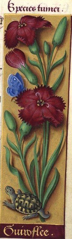 Guiroflee - Species tunici (Dianthus caryophyllus L. = œillet giroflée à fleurs simples) -- Grandes Heures d'Anne de Bretagne, BNF, Ms Latin 9474, 1503-1508, f°55r