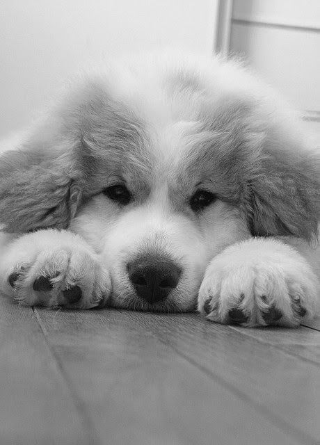Great Pyrenees Puppy... Oh the hair.. but I'm in love... how could anyone resist that sweet face... @KaufmannsPuppy