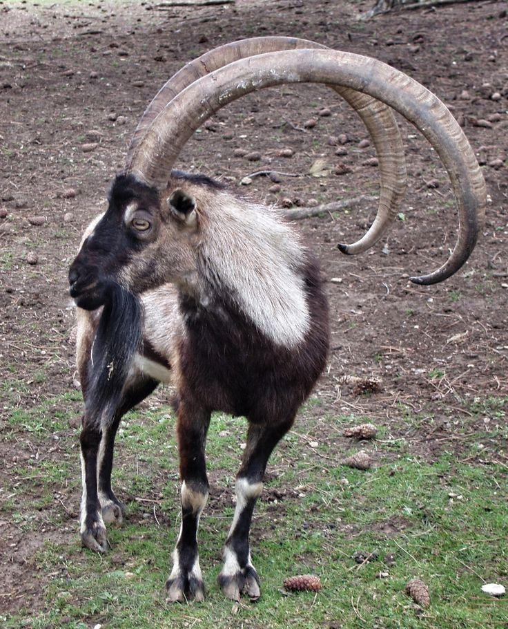 Bezoar Mountain goat