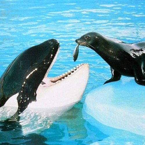 unusual friends animals - Google Search Very unusual, in captivity I'm guessing, because killer whales eat seals