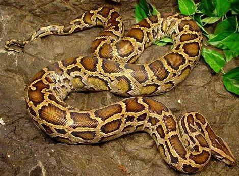 KRAJTA TYGROVITÁ -je jeden z největších hadů na světě,  dorůstá obvykle velikosti mezi 2 až 5 m  -