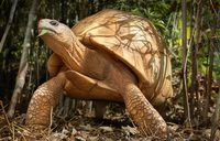The ploughshare tortoise of Madagascar is down to perhaps 100 adults in the wild. Poachers sell the tortoises as pets for up to $4,000 apiece on the black market. (Tim Flach)