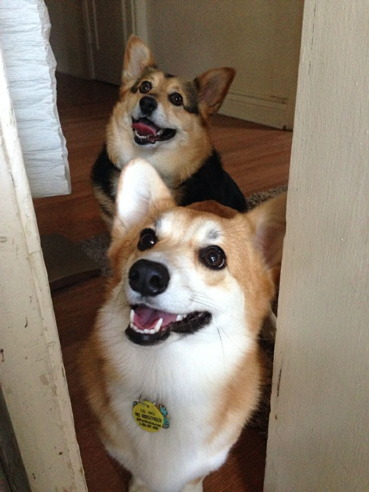 Corgis Dobby and Goldie just radiate happiness!