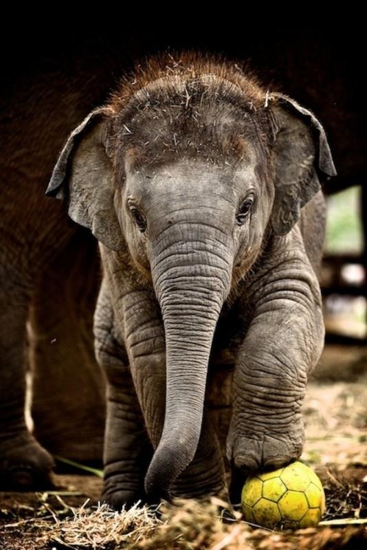 Look at this sweet little baby elephant with his ball and fuzzy little hair!