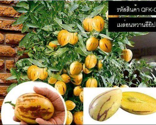 เมลดพนธเมลอนหวานอยปต - Melon eggplant seeds...