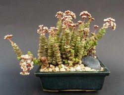 sukulenty - Eshop - NABÍZENÉ ROSTLINY - Crassula rupestris ssp. marnieriana (Jižní Afrika)