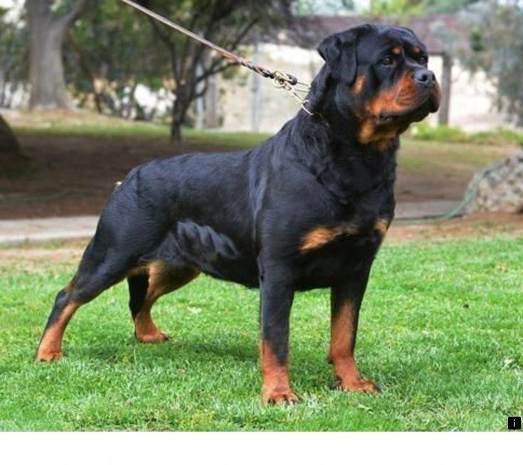 Rottweiler Welpen Rottweiler Dog Rottweiler Puppies Rottweiler Puppies For Sale