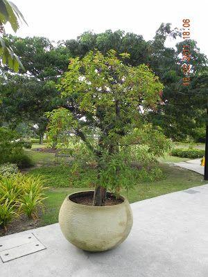 Eucalyptus Deglupta Bonsai Eucalyptus Wood Rainbow