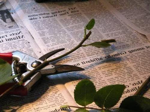 Как самостоятельно укоренить и вырастить элитные сорта роз из черенков от подаренных покупных букетов роз. Описание методик и технологий проращивания и укоренения черенков роз в домашних условиях с наглядными фото - Вырастить белый гриб