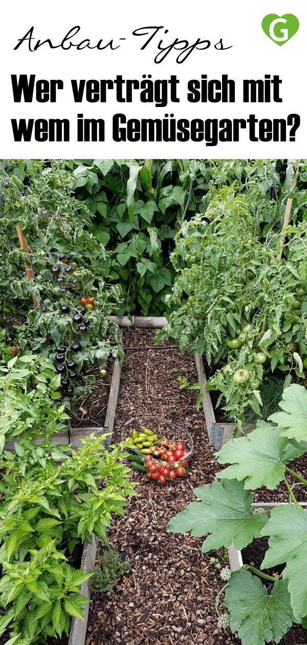 Anbau Tipps Wer Vertragt Sich Mit Wem Gruneliebe De Gemusegarten Tipps Garten Bepflanzen Bepflanzung
