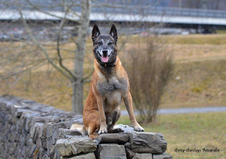 Schutzhund wartet auf Befehle