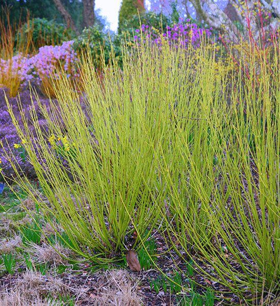 Buy golden twig dogwood Cornus sericea 'Flaviramea': Delivery by Crocus