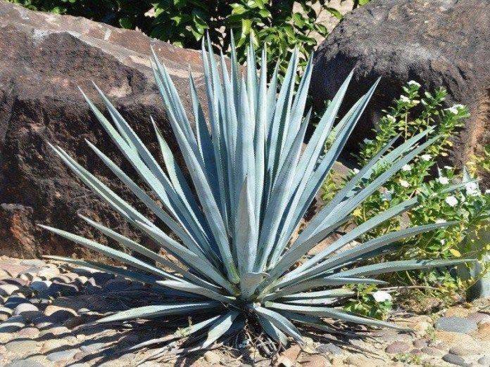 les 9 meilleures images du tableau cactus et succulentes sur pinterest bulbes cactus et graines. Black Bedroom Furniture Sets. Home Design Ideas