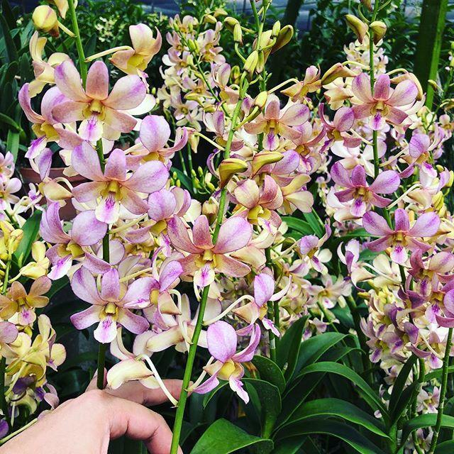 Tohgarden Singapore Tropical Farm Orchid Love Orchids Bloom Orchidgarden Dendrobium Orchidlove Instagramorchids Instaorchid Orchids Plants Donate