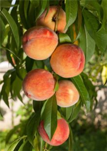 Elberta peach trees are normally planted in pairs so they can pollinate each other. This pollination causes your trees to produce more fruit! We recommend cross-pollinating your Elberta with the Red Haven Peach Tree.     Elberta Peach Trees grow rapidly, and mature quickly to a height of 15 feet. The faster they grow, the sooner they reward you with delicious fruit.