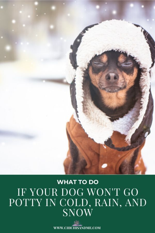What To Do When Your Chi Won T Go Potty Outside Big Dog Little Dog Your Dog Little Dogs