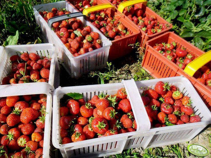 Truskawki <3  #truskawki #owoce #lato #wakacje #summer #strawberry