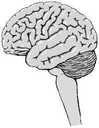 Resultado de imagen para sistema nervioso central sin nombres para colorear