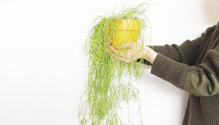 リプサリスは独特な形状をしている葦サボテンの仲間です。 種類によって様々な形状をしています。 花が咲く種類もあります。水やりや植え替え、増やし方など5分で分かるリプサリスの育て方を紹介。